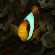 Anemionenfisch