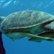 Schildkröte2