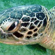 Schildkröte_Portrait